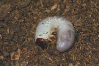 カブトムシの中齢幼虫