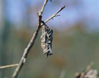 オオミノガのミノ(ミノムシ)