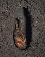 カブトムシのオスの羽化連続  2/6 32070000297| 写真素材・ストックフォト・画像・イラスト素材|アマナイメージズ