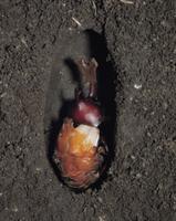 カブトムシのオスの羽化連続  3/6 32070000298| 写真素材・ストックフォト・画像・イラスト素材|アマナイメージズ