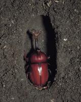 カブトムシのオスの羽化連続  6/6 32070000301| 写真素材・ストックフォト・画像・イラスト素材|アマナイメージズ