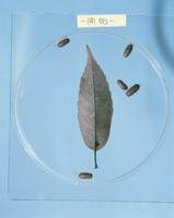 オカダンゴムシ 枯れ葉を食べる実験 (1日目)