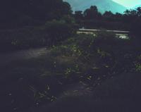 飛び交うゲンジボタルの光跡