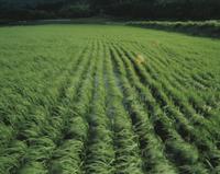 水田 風に揺れる稲
