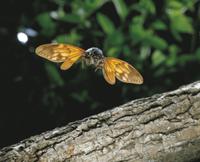 アブラゼミの飛翔