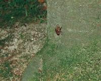 羽化のため木にのぼるアブラゼミの幼虫