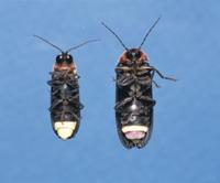 ゲンジボタルの腹側 左:オス 右:メス