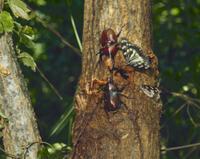 クヌギの樹液に集まる カブトムシ、クロカナブン、アオカナブン 32070000486| 写真素材・ストックフォト・画像・イラスト素材|アマナイメージズ