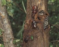 クヌギの樹液に集まる虫 32070000487| 写真素材・ストックフォト・画像・イラスト素材|アマナイメージズ