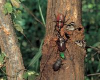 樹液に集まる昆虫(カブトムシ、アオカナブン、ゴマダラチョウ)