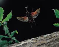 カブトムシの飛翔
