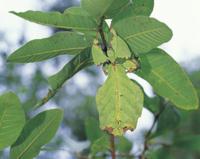 木の葉に擬態するコノハムシ 32070000597| 写真素材・ストックフォト・画像・イラスト素材|アマナイメージズ