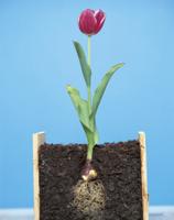 球根から咲いたチューリップ(地中断面) 32070000706| 写真素材・ストックフォト・画像・イラスト素材|アマナイメージズ