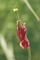 花びらがしおれたチューリップ
