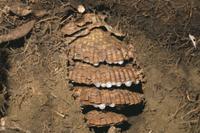 地中につくられたオオスズメバチの巣(地中断面)