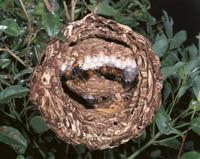 コガタスズメバチの巣内のようす(巣断面)