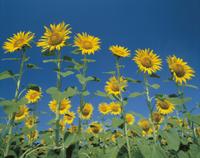 青空を背景に林立するヒマワリの花