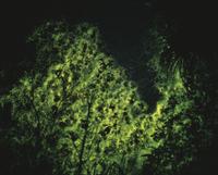 ムナキキベリボタルの集団発光(ホタルツリー・インドネシア)