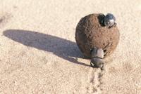 ウエディングボールをころがすアフリカタマオシコガネ 32070000914| 写真素材・ストックフォト・画像・イラスト素材|アマナイメージズ