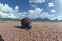 糞ボールをころがずアフリカタマオシコガネ