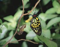 メガネトリバネアゲハの羽化 32070000926| 写真素材・ストックフォト・画像・イラスト素材|アマナイメージズ