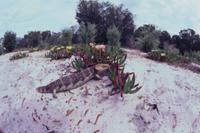 マツカサトカゲ 32070000935| 写真素材・ストックフォト・画像・イラスト素材|アマナイメージズ