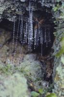 ヒカリキノコバエの仲間(グローワーム) 幼虫の巣