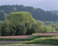 レンゲソウ咲く春の里山