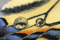 アゲハ(ナミアゲハ) 翅と水玉 32070001164| 写真素材・ストックフォト・画像・イラスト素材|アマナイメージズ