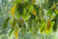 木の葉に擬態するコノハムシ(3匹) 32070001188| 写真素材・ストックフォト・画像・イラスト素材|アマナイメージズ