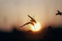 ツユムシと夕日 32070001357| 写真素材・ストックフォト・画像・イラスト素材|アマナイメージズ
