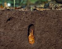 腐葉土の中のカブトムシの蛹 32070001415| 写真素材・ストックフォト・画像・イラスト素材|アマナイメージズ