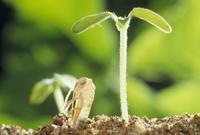 キリギリスの孵化と植物の芽生え