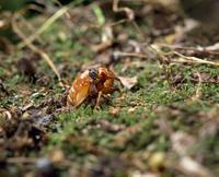 地中から出てきたジュウシチネンゼミ(17年ゼミ)の幼虫