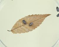 ダンゴムシの実験 落ち葉