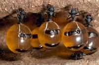 腹部に蜜を貯めこんだミツツボアリの仲間