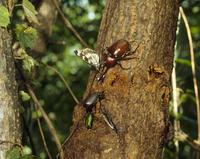 クヌギの樹液に集まるカブトムシのオスとメス、アオカナブン、ゴマダラチョウ