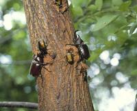 樹液に集まる昆虫 カブトムシ、カナブン 他