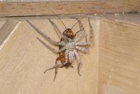 ゴキブリを捕食するアシダカグモ 32070002167| 写真素材・ストックフォト・画像・イラスト素材|アマナイメージズ