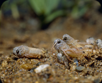 トノサマバッタの孵化