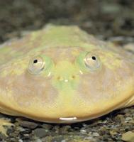 マルメタピオカガエルの顔 32071000086| 写真素材・ストックフォト・画像・イラスト素材|アマナイメージズ
