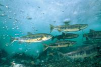 産卵のために川を遡上するサケの群れ