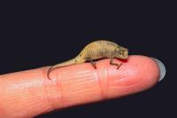 ヒトの指に乗るミニマヒメカメレオン 爬虫類中最小種