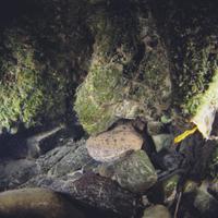 巣穴から顔を出すオオサンショウウオ