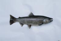 サクラマスのオス 体長45.0cm