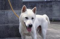 紀州犬の顔