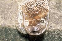 アオダイショウの脱皮殻