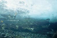 サケの遡上   32071002336| 写真素材・ストックフォト・画像・イラスト素材|アマナイメージズ