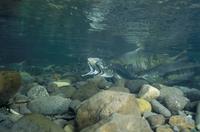 サケのメス(左)とカラフトマスのオス(右)の自然交配   32071002341| 写真素材・ストックフォト・画像・イラスト素材|アマナイメージズ
