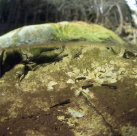 春、産卵のために山間部の溜りや湧水に集まるニホンイモリ